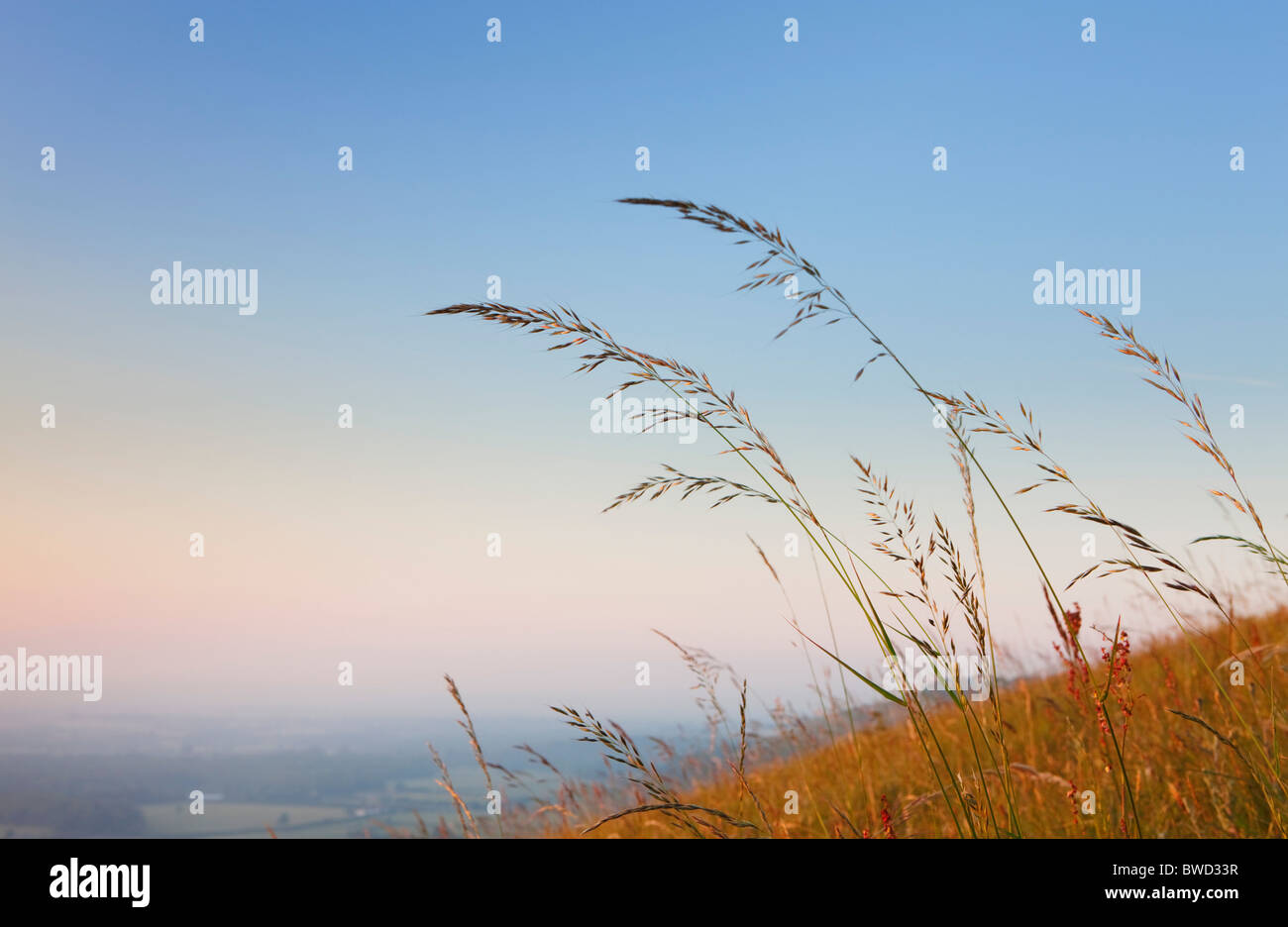 Detail of grass at sunset; South Downs; England, Great Britain - Stock Image
