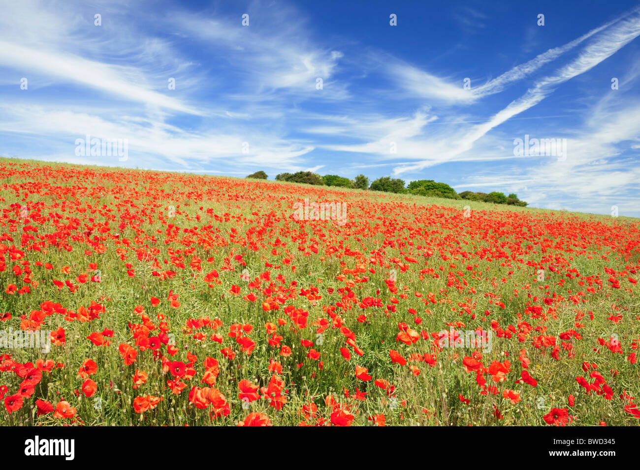 Poppies on the South Downs; West Sussex; England, Great Britain - Stock Image