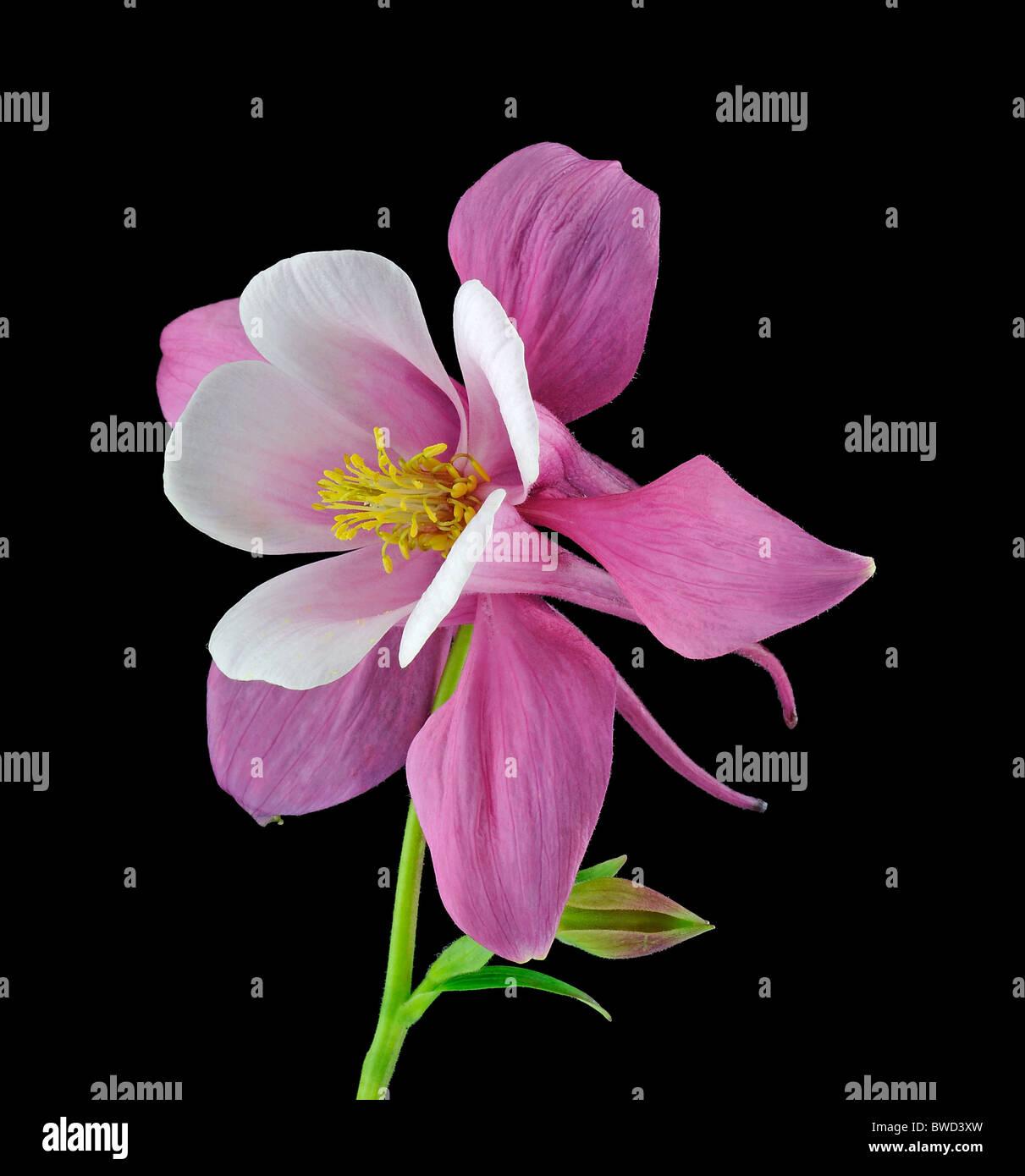 Origami Red White Columbine Aquilegia Ranunculaceae Studio