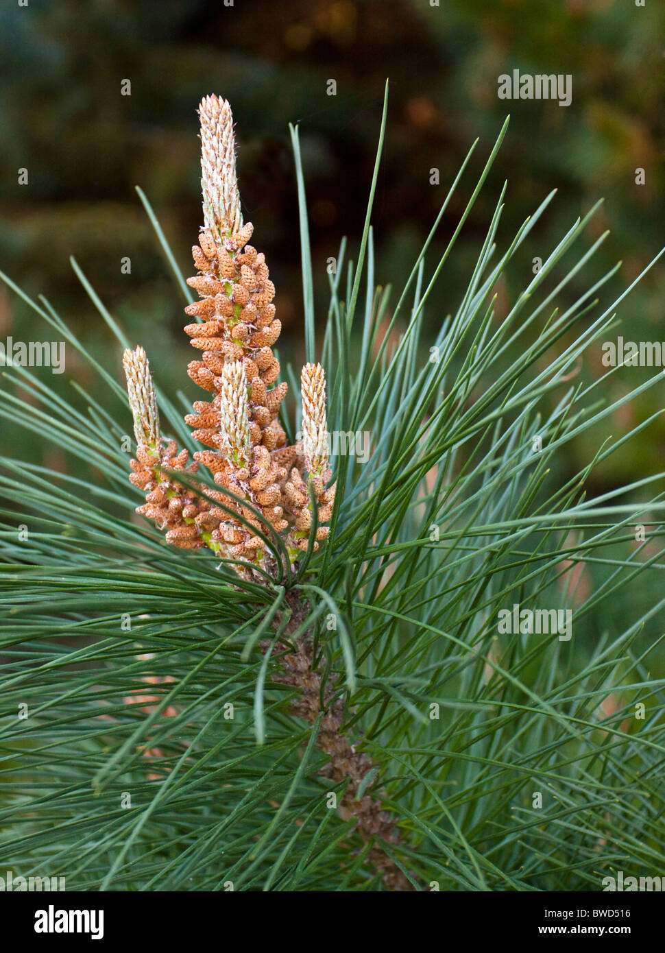 A close up of a Conifer seed - Stock Image