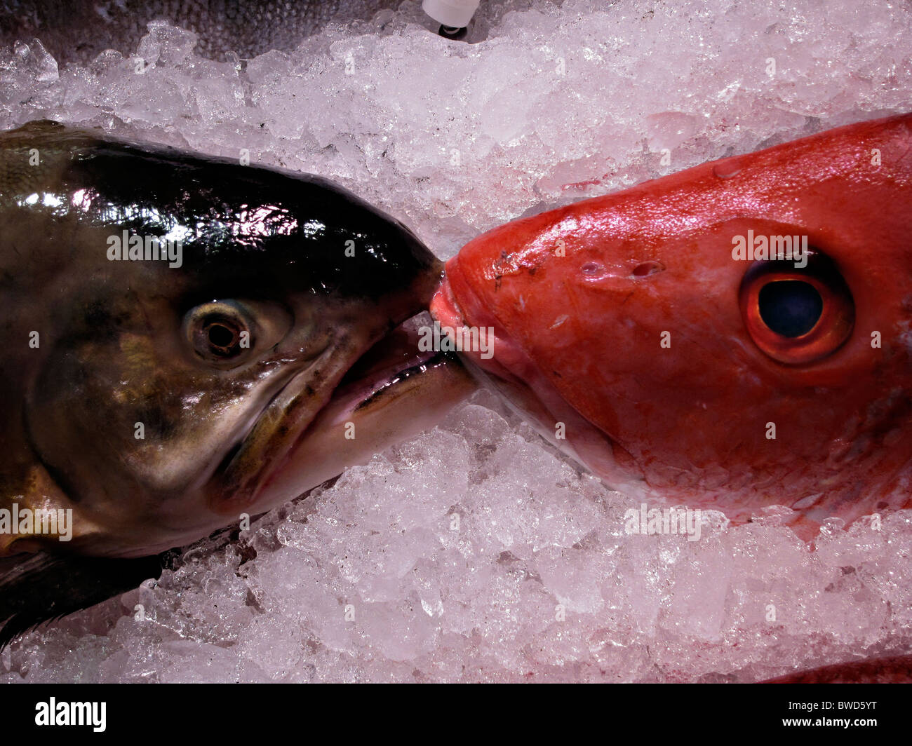 Kissing Fish Stock Photos & Kissing Fish Stock Images - Alamy