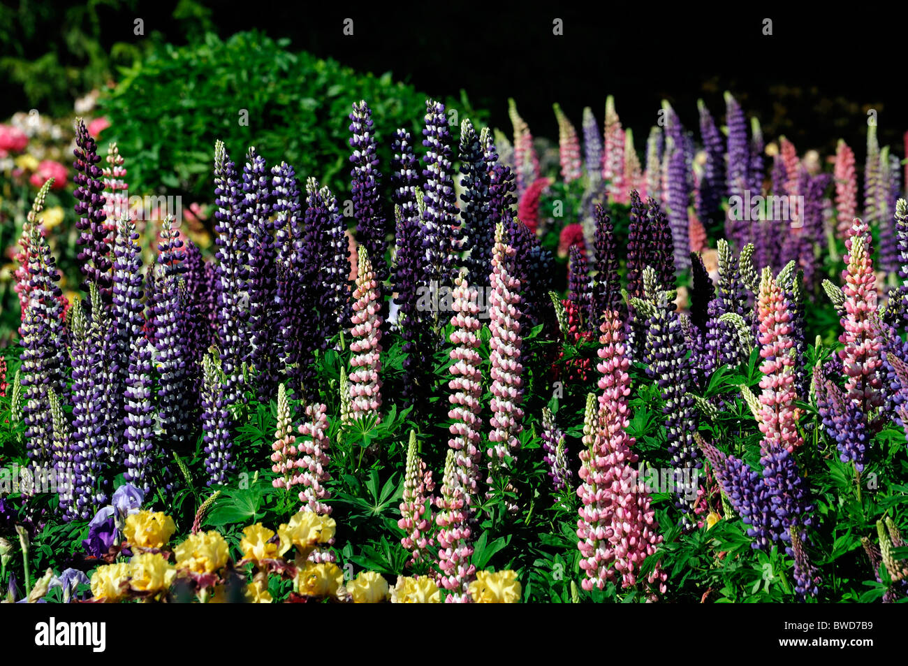 Mixed herbaceous perennial flower bed border garden multi multiple mixed herbaceous perennial flower bed border garden multi multiple color colors summer colorful colourful lupin bearded iris mightylinksfo