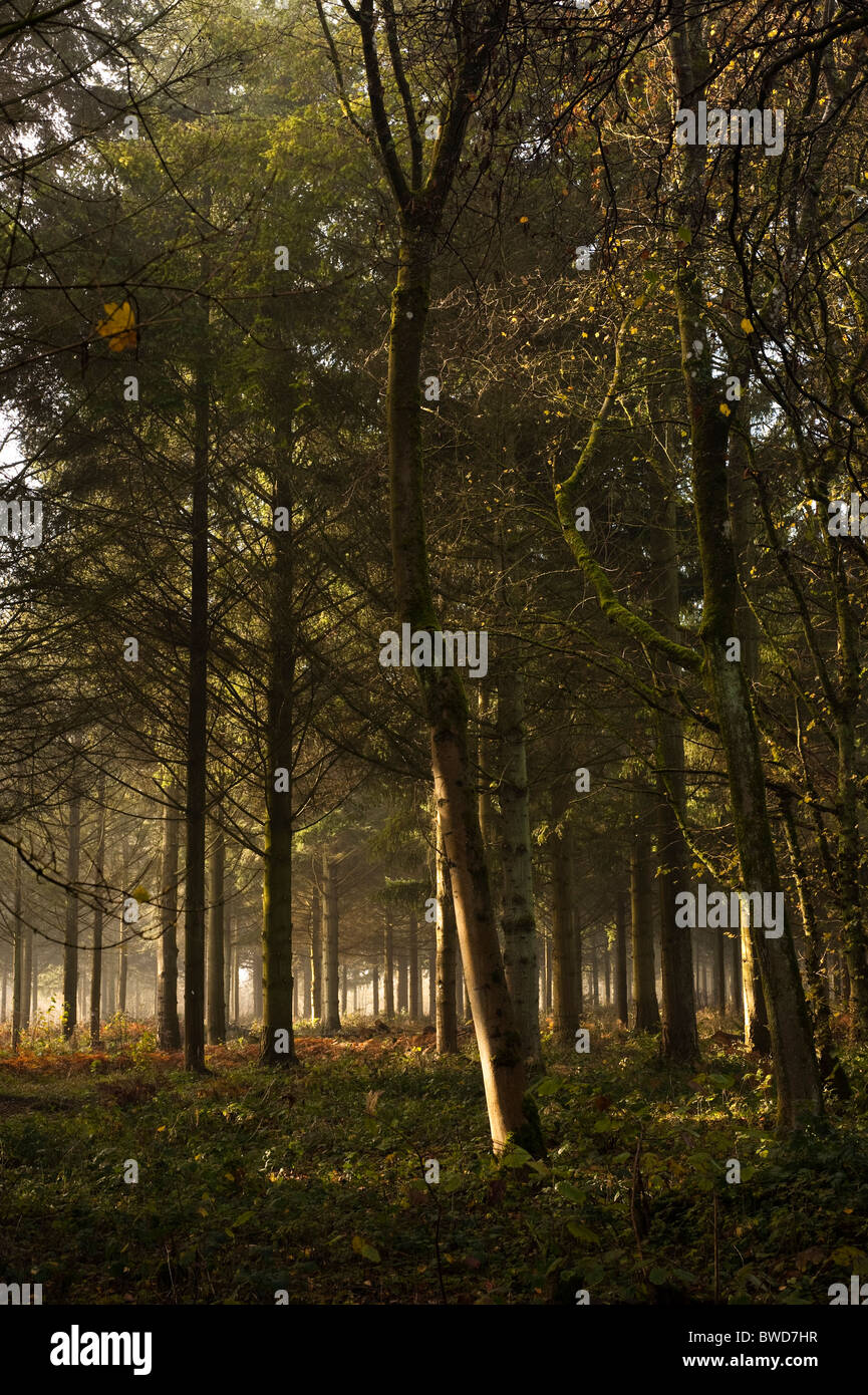 Woodland at Westonbirt Arboretum on a foggy, Autumn day - Stock Image