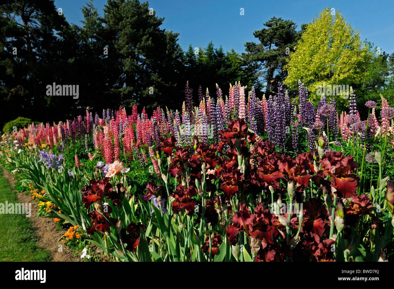 Lupin border stock photos lupin border stock images alamy mixed herbaceous perennial flower bed border garden multi multiple color colors summer colorful colourful lupin mightylinksfo