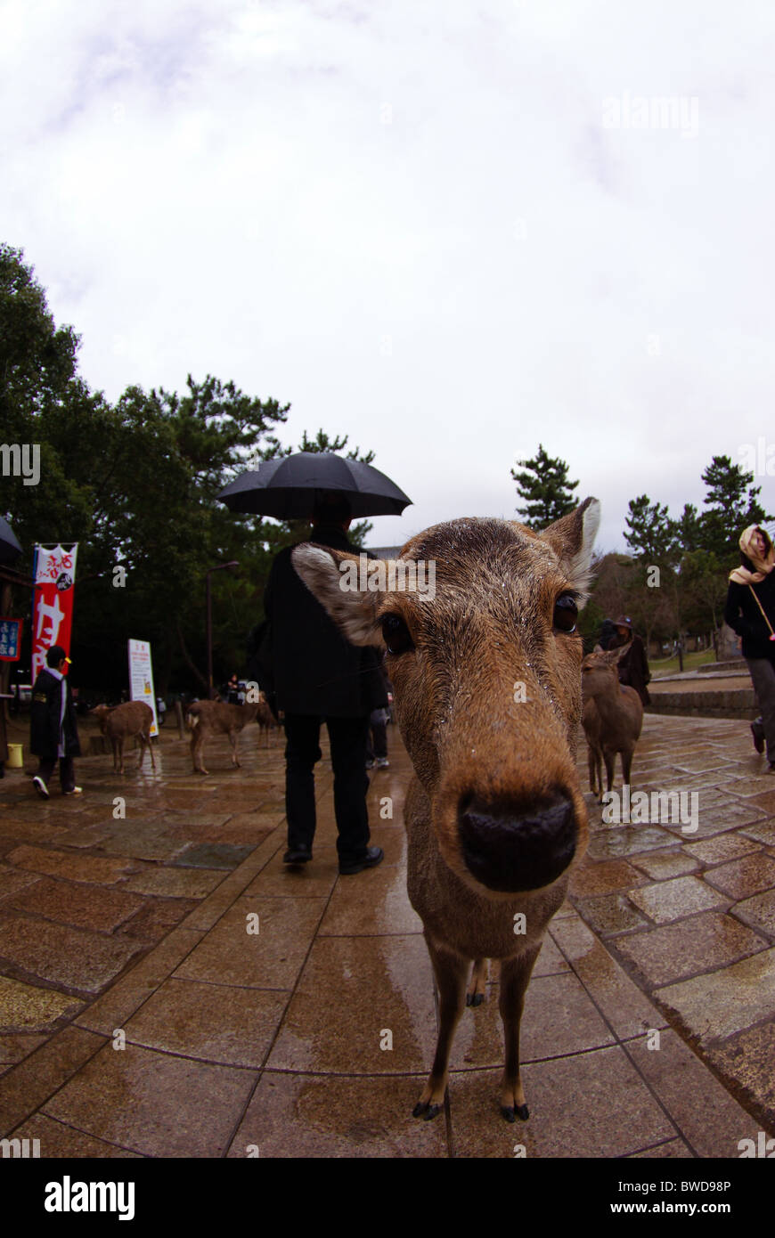 Curious Deer in Nara Deer Park during a rainy day (Fisheye) - Stock Image