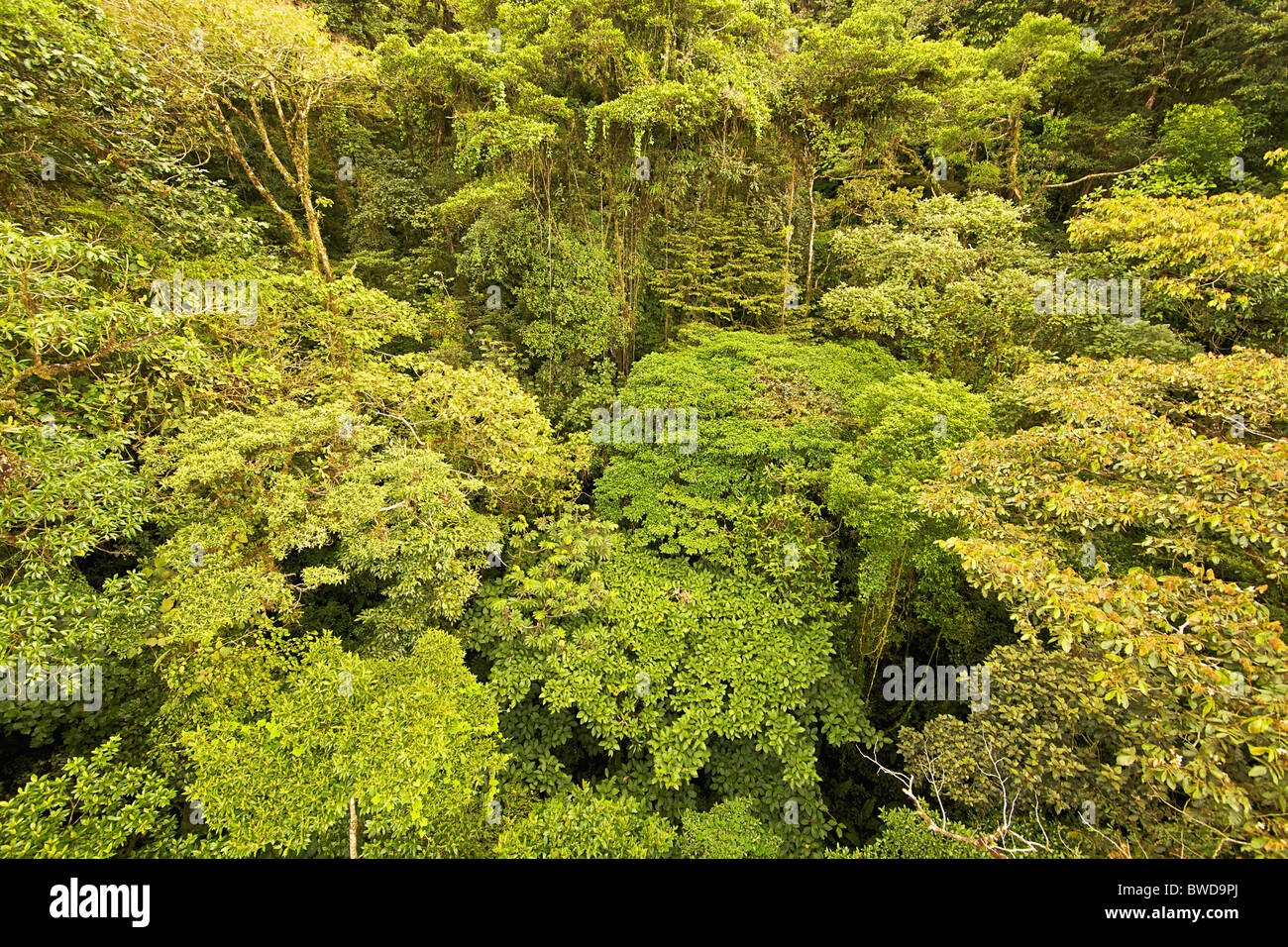 This is the endangered canopy of an original central american rain forest with very complex vegetation. - Stock Image