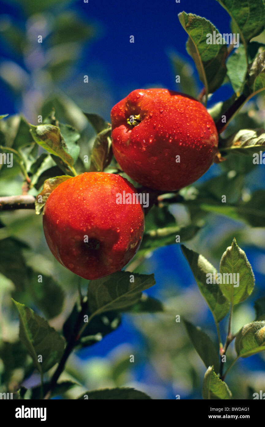 Red delicious apples in orchard before harvest with water droplets, close up, Eastern Washington State USA Stock Photo