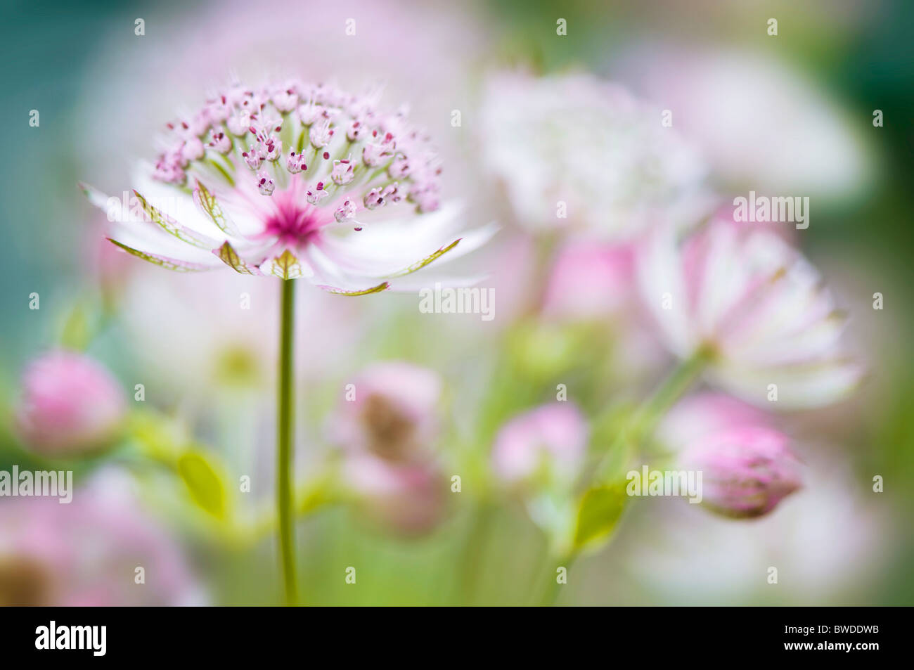 Astrantia major 'Bo Ann' pink flowers - masterwort - Stock Image