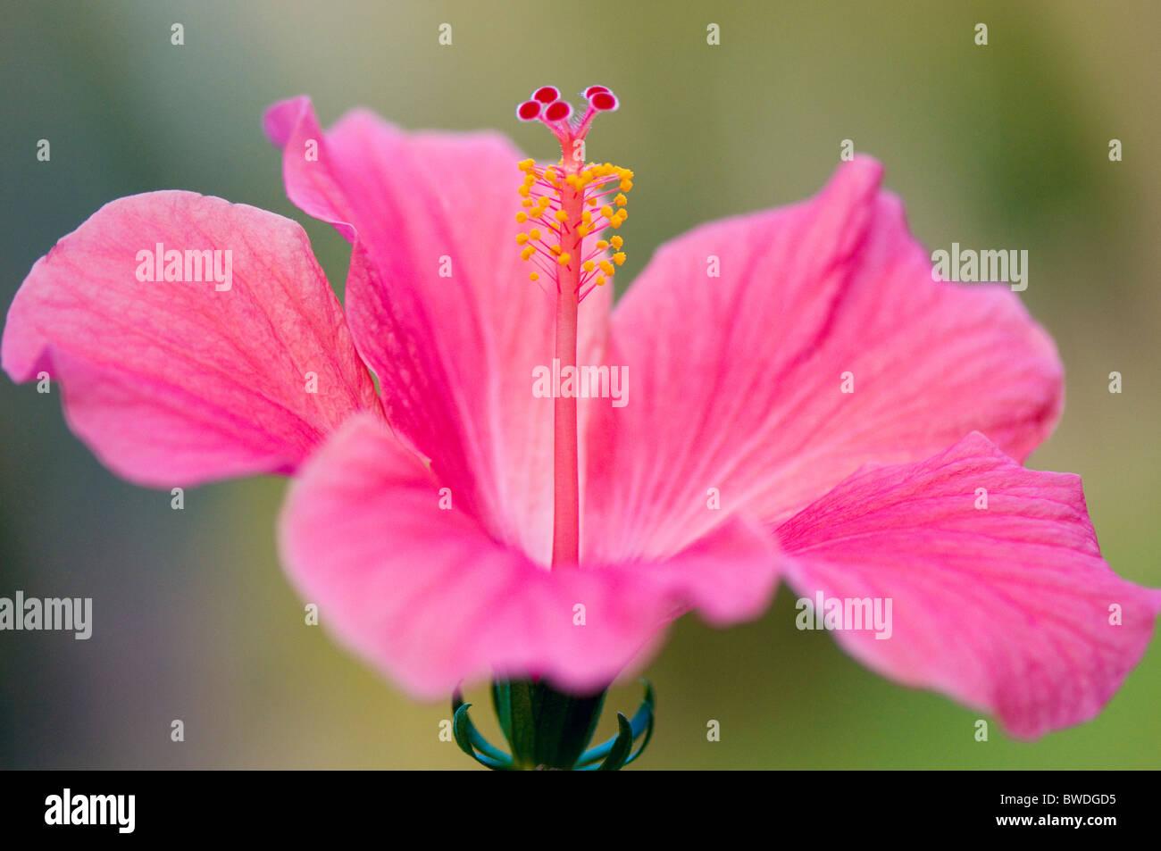 Pink hibiscus flower stock photos pink hibiscus flower stock a close up image of single pink hibiscus flower rosa sinensis stock izmirmasajfo