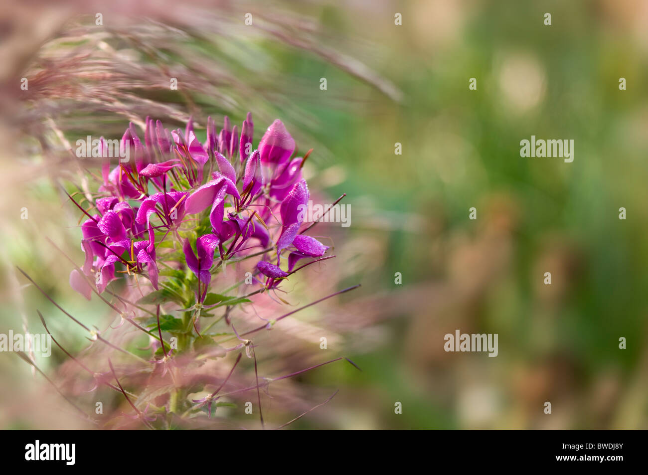 A single spider flower - Cleome spinosa 'Violet Queen' - Stock Image