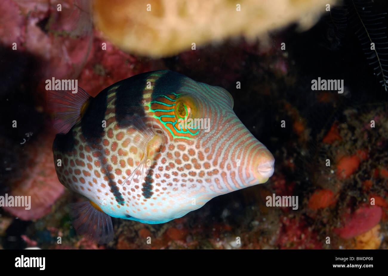 Puffer Fish Canthigaster valentini Tetraodontidae, Tulamben, Bali, Asia Stock Photo