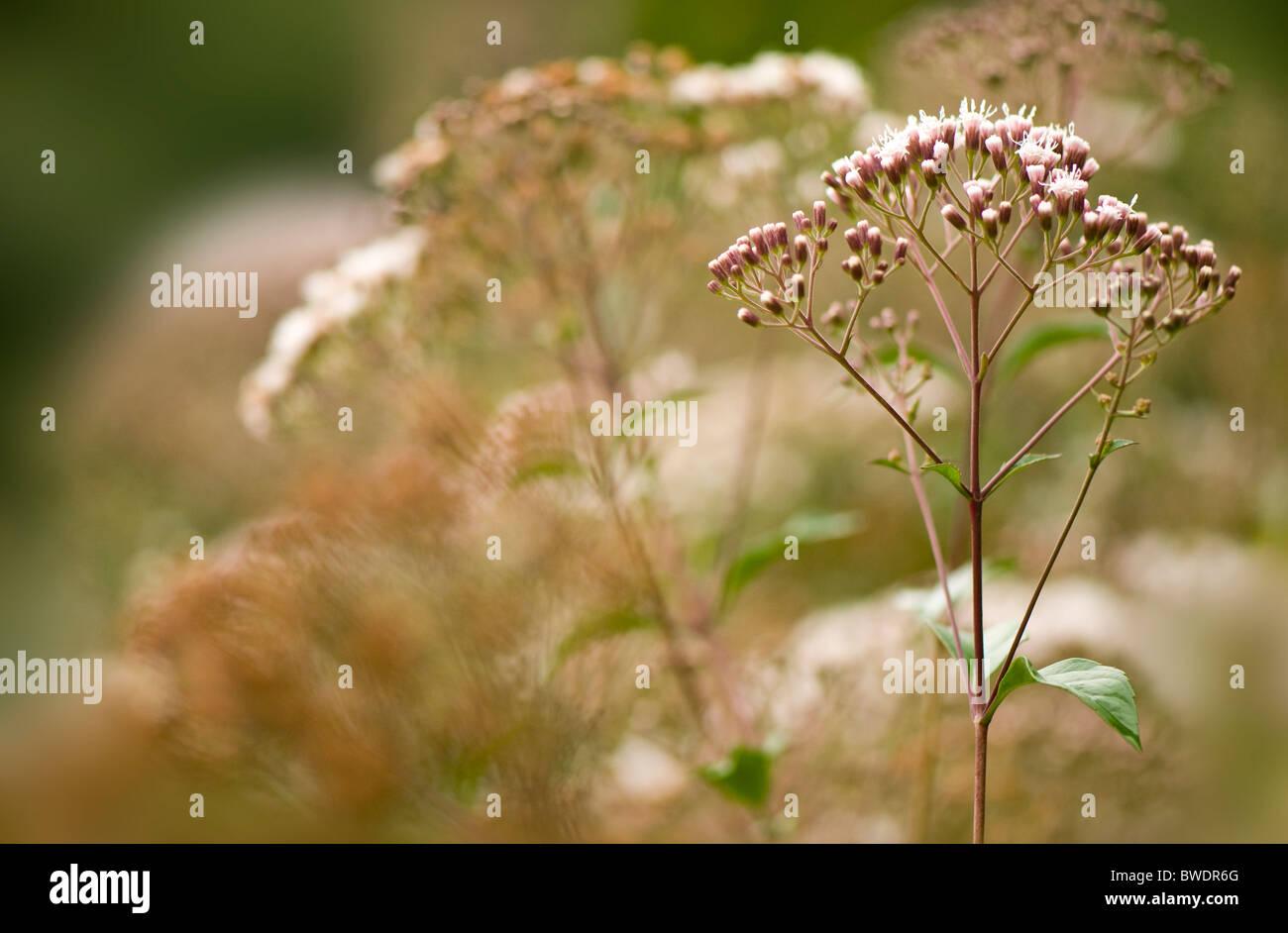 Eupatorium ligustrinum syn micranthum  - Incense Bush with small white flowers - Stock Image