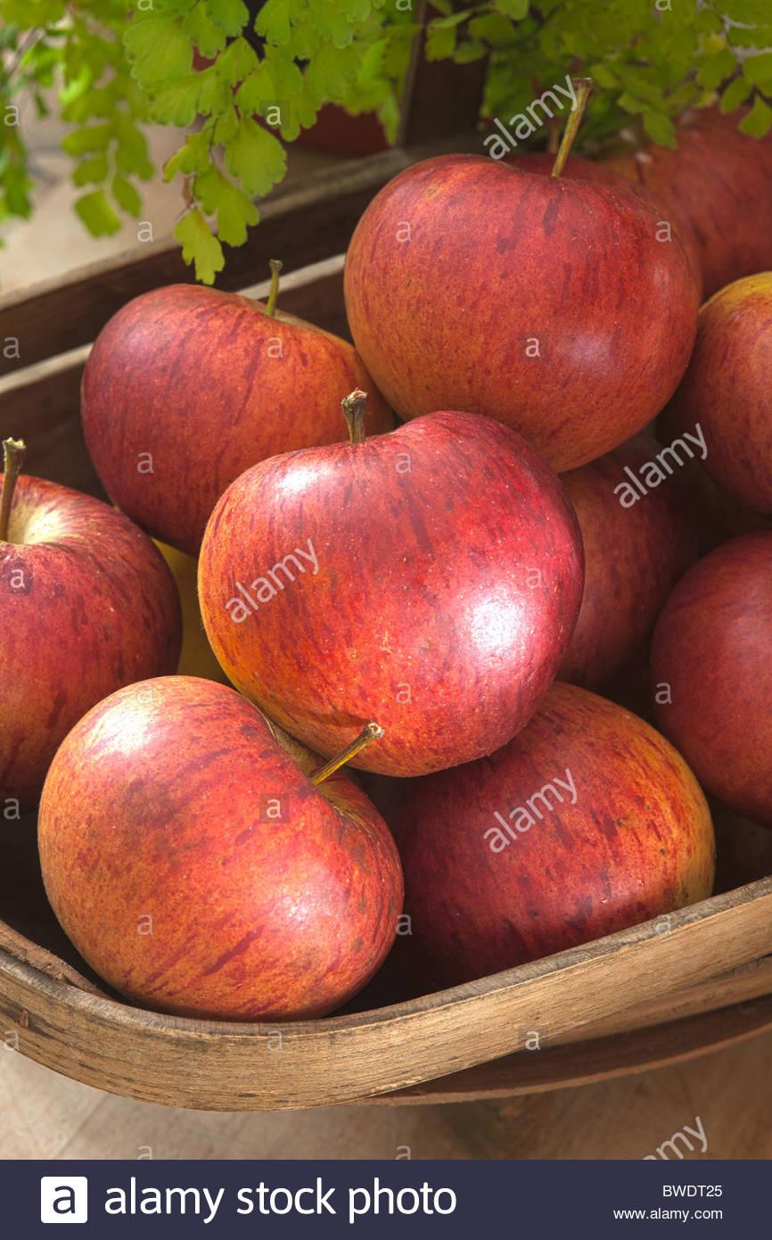 freshly picked trug Apple Jupiter autumn deciduous edible fruit tree September red kitchen garden plant home grown - Stock Image