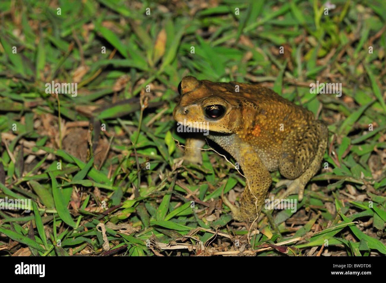 Asian Toad  Bufo melanostictus, Bufonidae, Gilimanuk, Bali, Indonesia - Stock Image
