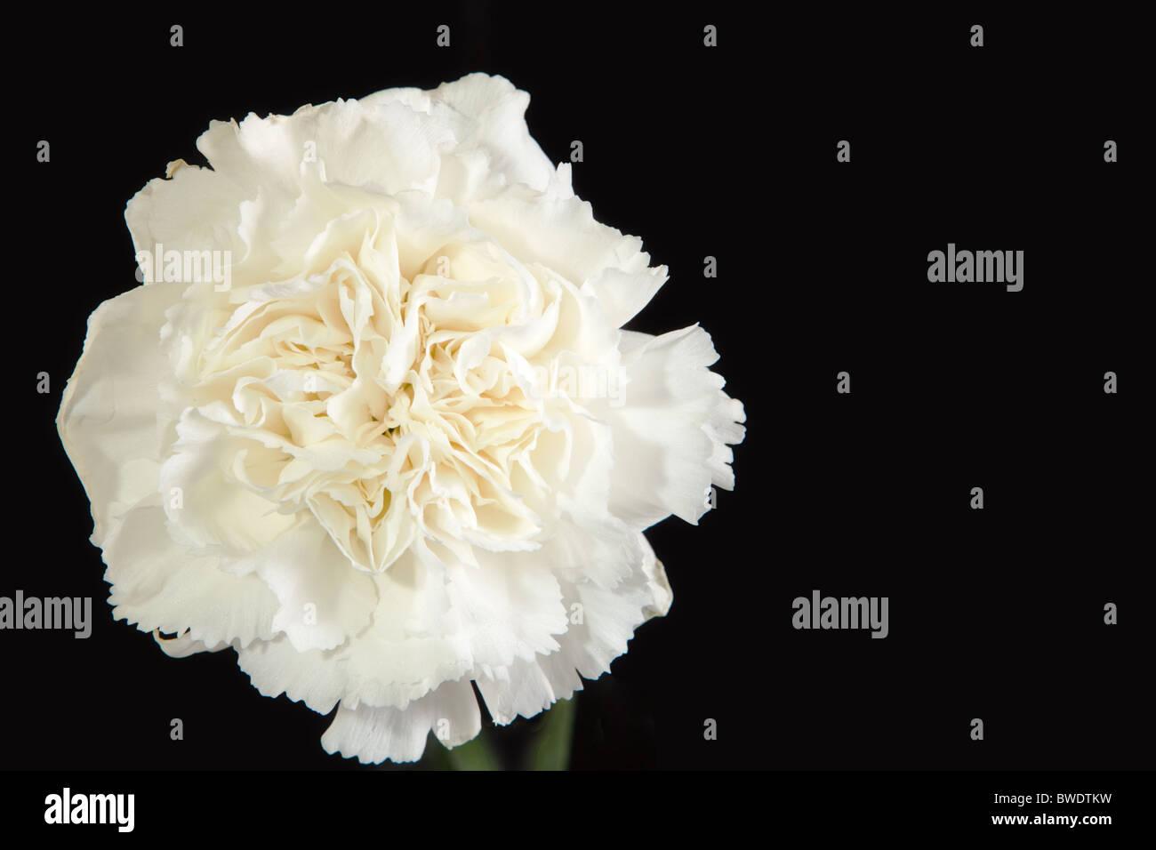 White Carnation Flower Stock Photos White Carnation Flower Stock