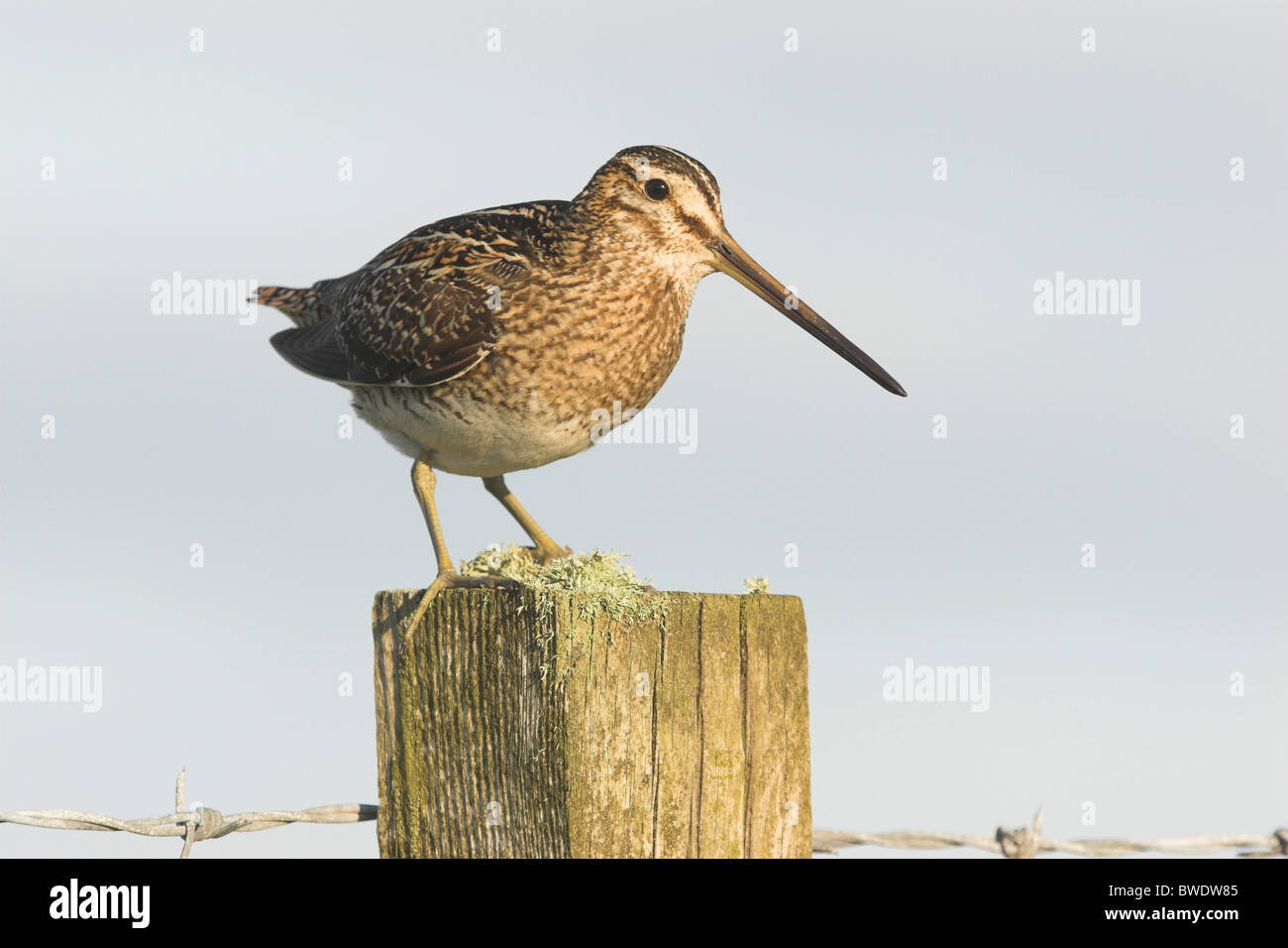 Snipe Gallinago gallinago adult on fence post North Uist Outer Hebrides Western Isles Scotland UK - Stock Image