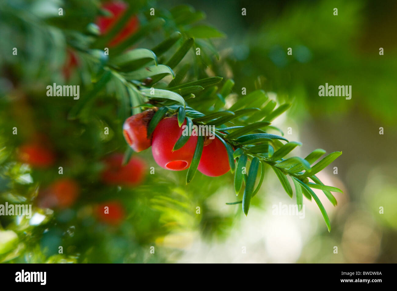 The bright red winter berries of Taxus baccata - Yew tree - Stock Image