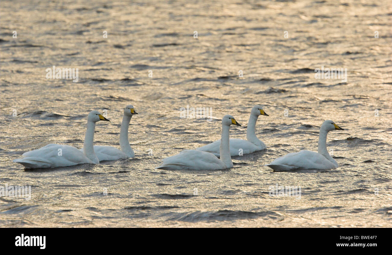 Whooper swan Cygnus cygnus group on freshwater loch Inverness-shire Highland Stock Photo