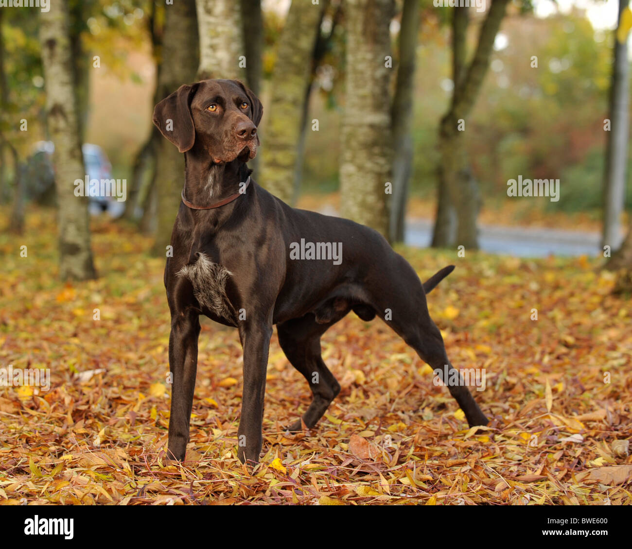 german shorthaired pointer dog standing in woodland in autumn - Stock Image