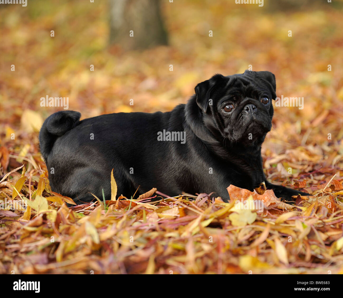 pug dog lying in autumn leaves - Stock Image