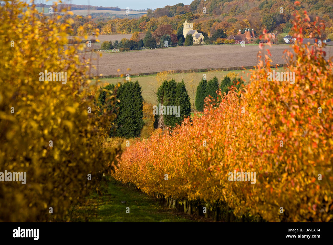 Autumn view of Horsemonden church and oast house from an orchard of golden leaf cherry trees near Goudhurst Kent - Stock Image