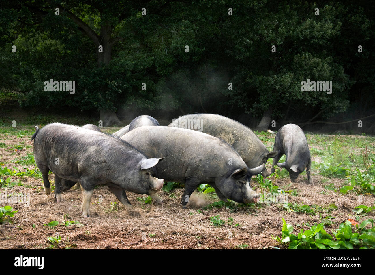 Free-range Berkshire pigs foraging in a field and wood at Hurst Green Sussex UK - Stock Image
