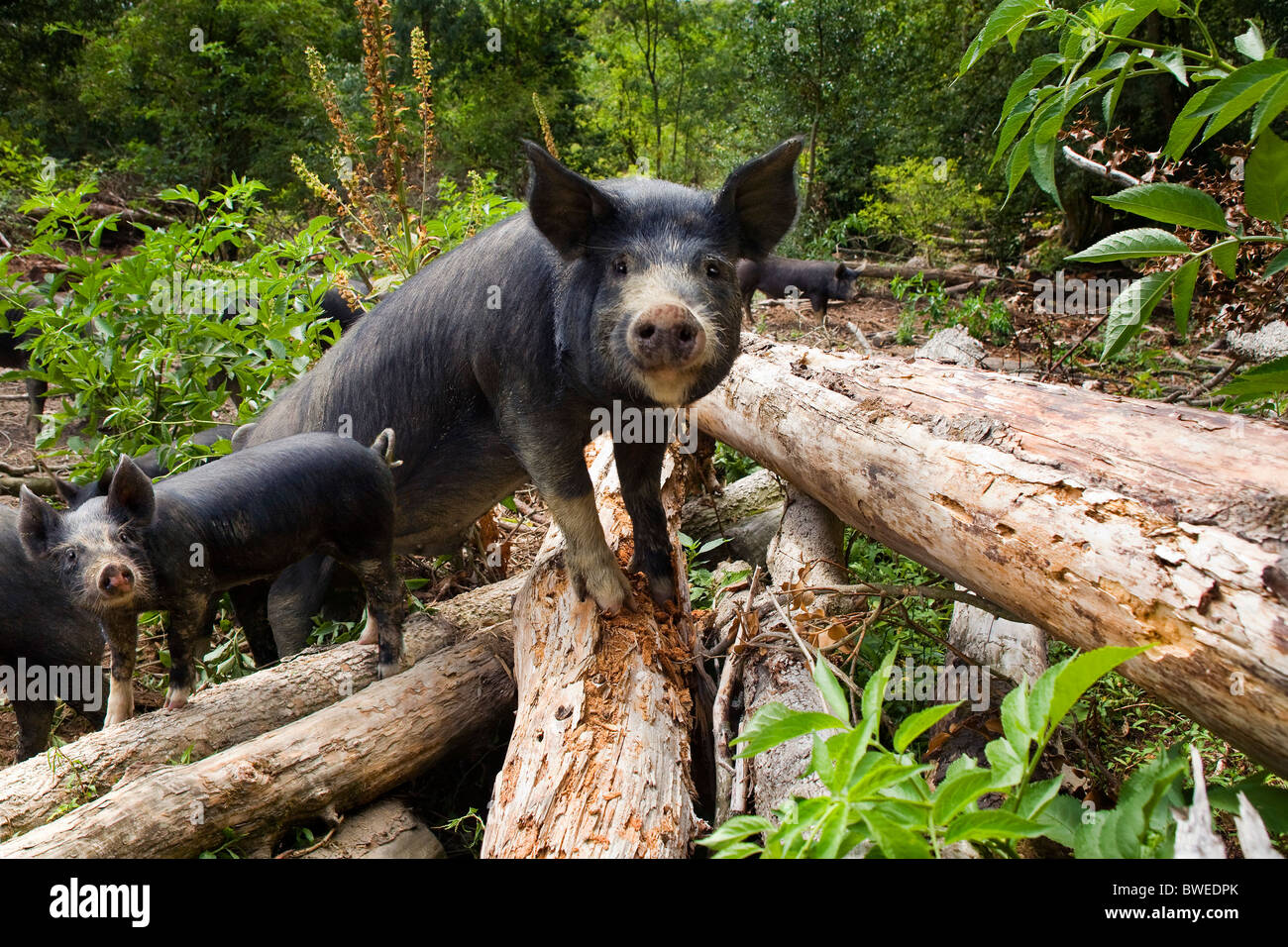 Free range foraging Berkshire pigs and piglets clamber over logs in woodland at Coopers Farm East Sussex UK - Stock Image