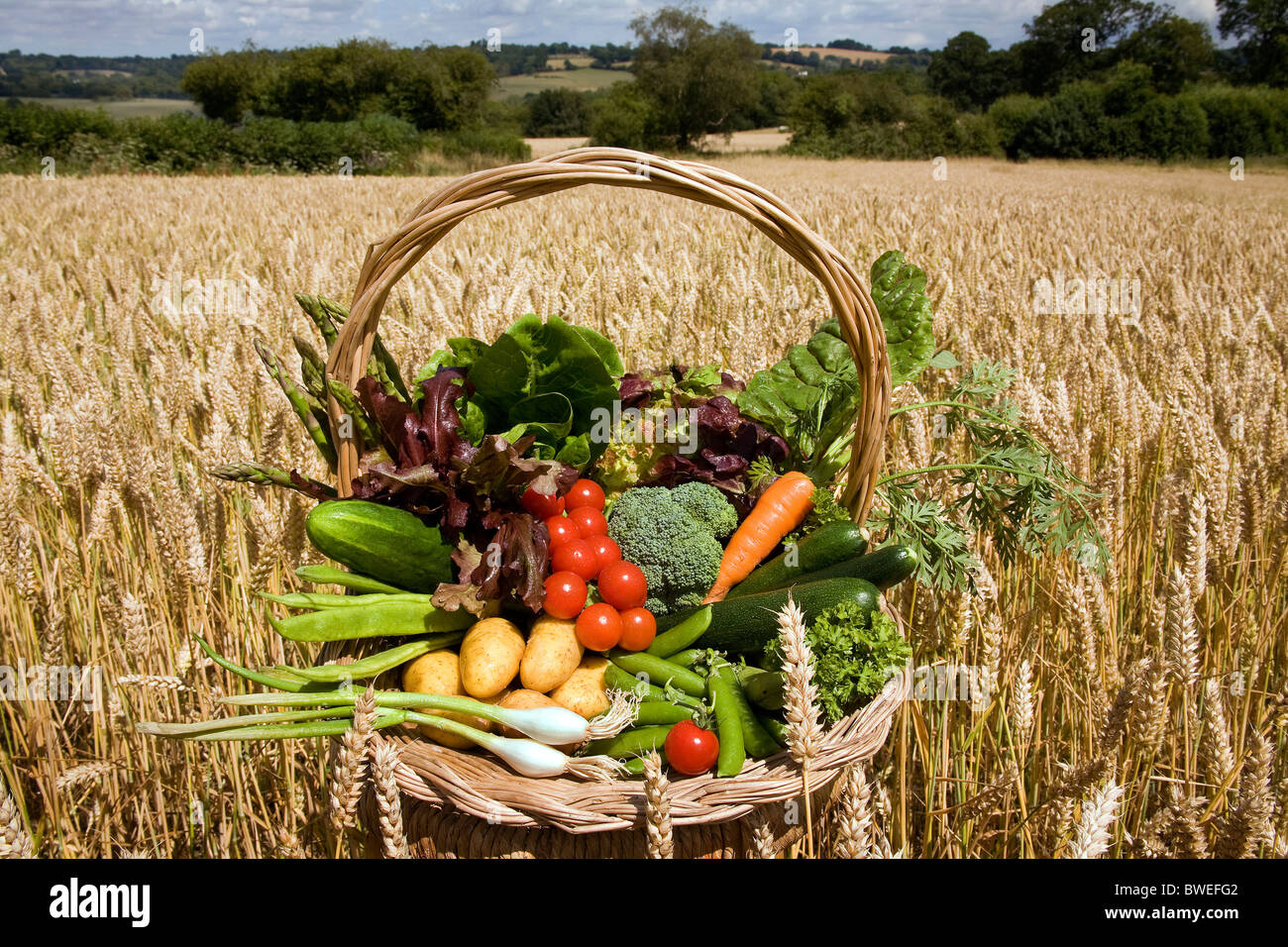 Locally grown variety of British summer vegetables in a basket in wheat field in countryside landscape the Weald - Stock Image