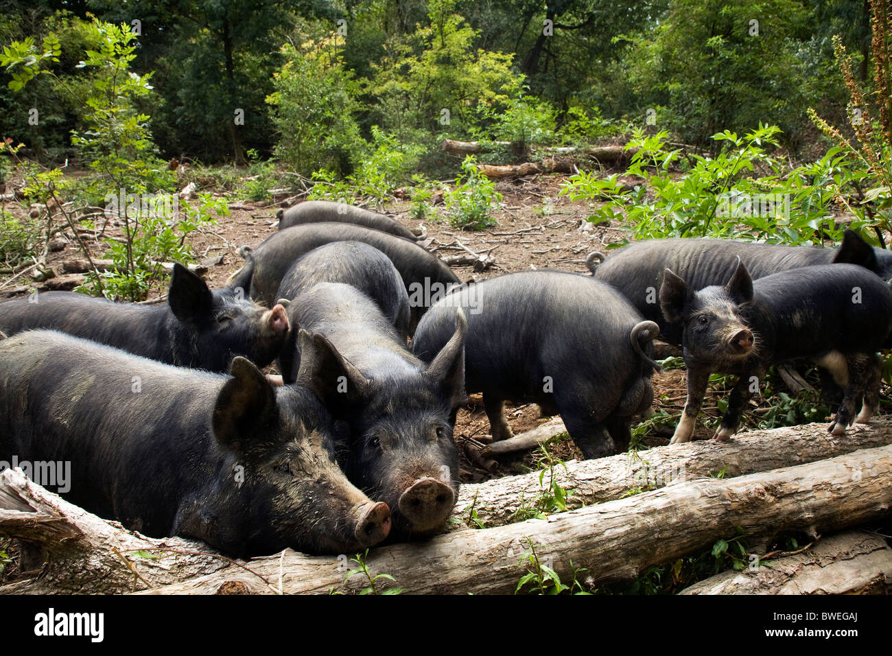 Free range Berkshire pigs and piglets foraging in woodland at Coopers Farm, Stonegate East Sussex UK - Stock Image