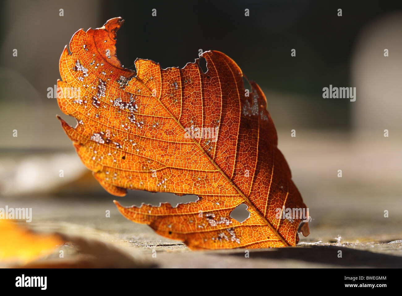 Japanese autumn leaf nearby Takao-san - Stock Image