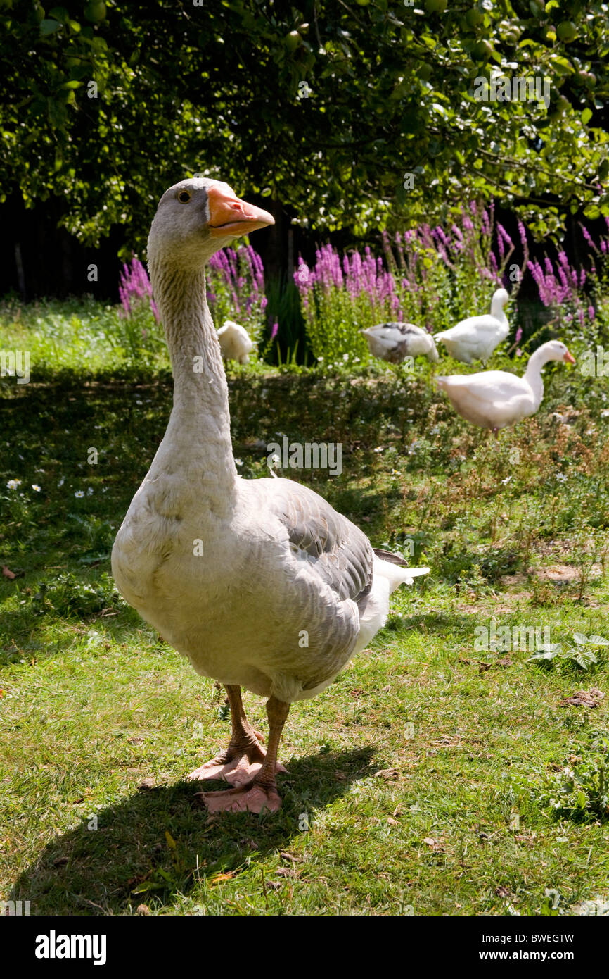 Free range geese in summer with purple loose-strife growing beside pond at Moons Green Farm East Sussex UK - Stock Image