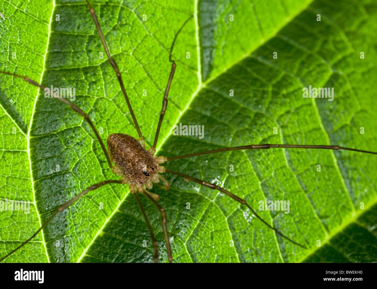 Harvestman 'spider' (Opiliones Sp.) on a backlit green leag - Stock Image