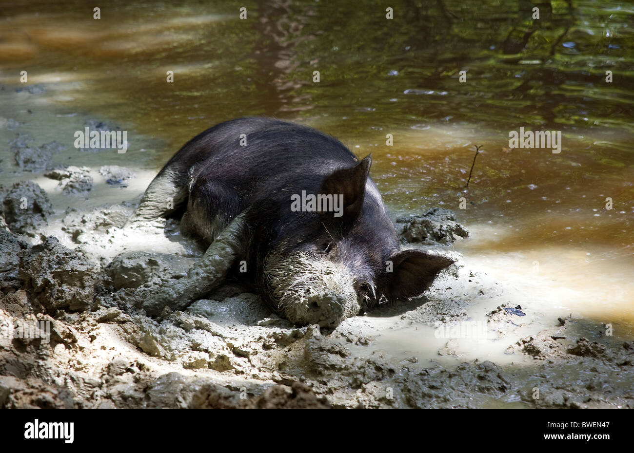 Free range Berkshire pig happily wallowing in muddy clay in pond at Coopers Farm, Stonegate East Sussex UK - Stock Image