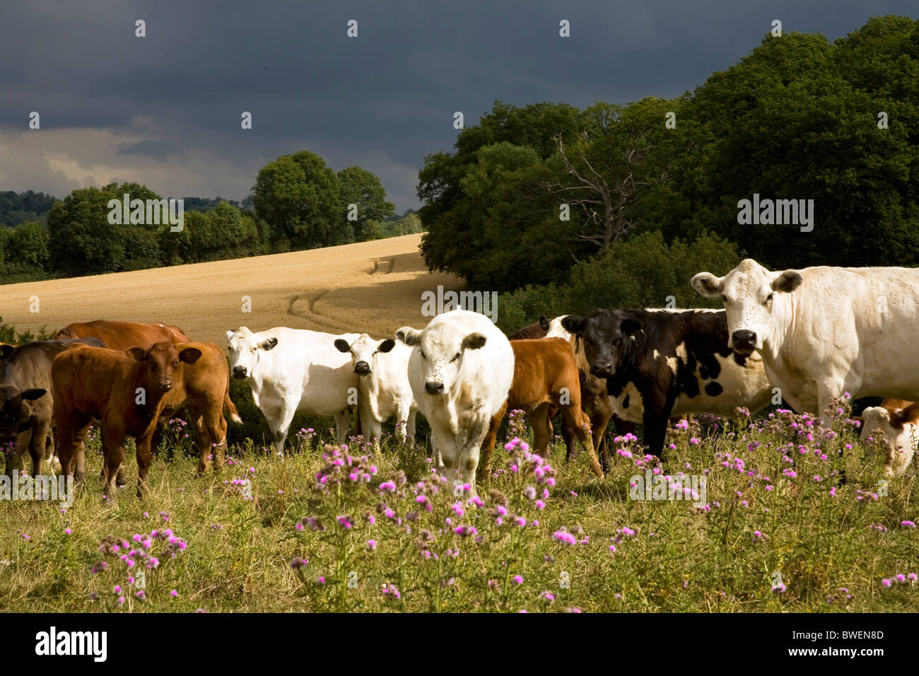 Rare breed British-White with other beef cattle grazing on organic hillside in summer sunshine under dark approaching - Stock Image