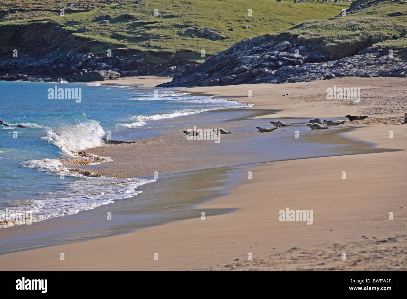 UK Scotland Highland Outer Isles Hebrides Island of Mingary Common Seals on beach - Stock Image
