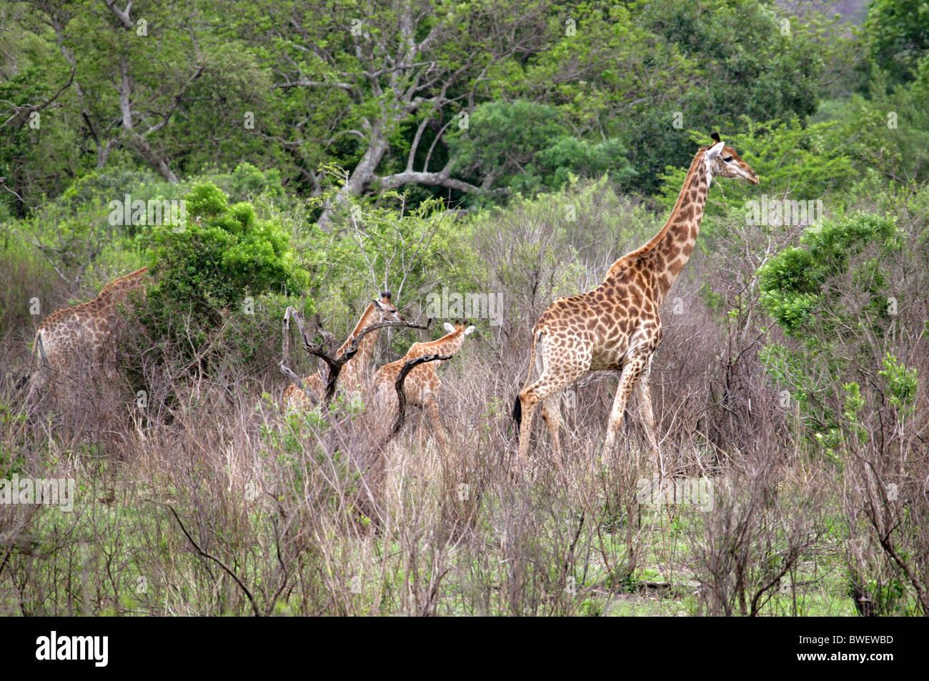 South African Giraffe, Giraffa camelopardalis giraffa, Giraffidae. Hluhluwe-Umfolozi Game Reserve, Kwazulu Natal, - Stock Image