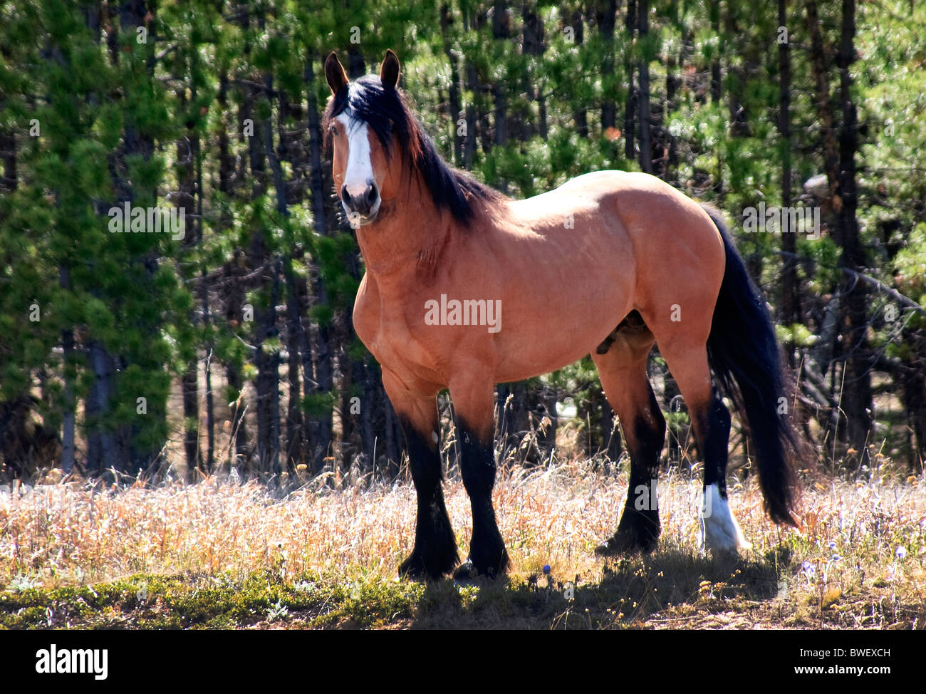 Stallion guarding his herd of mares.  He positioned himself between me and the rest of the herd.  His demeanor  - Stock Image