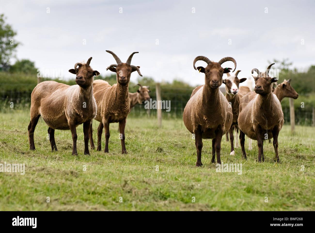 Manx Loaghtan ewes in field - Stock Image