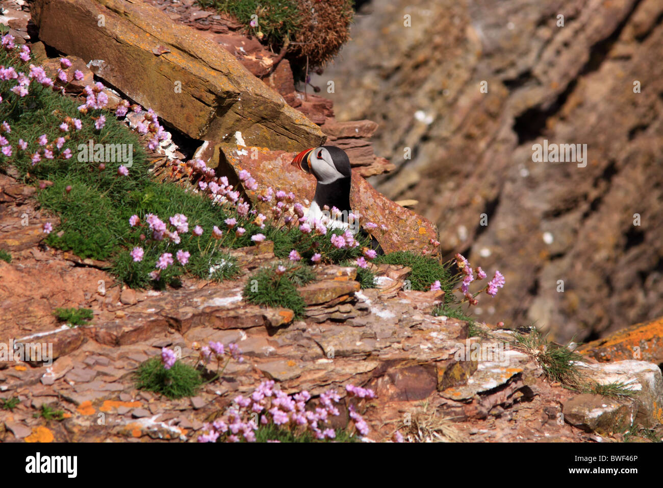 Puffins on cliff - Stock Image