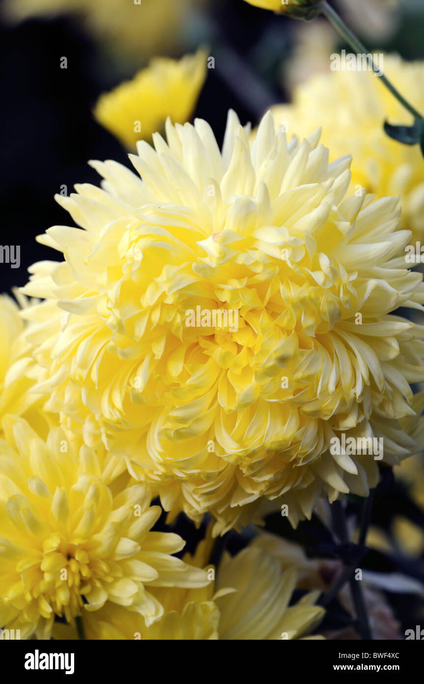 Cream chrysanthemum stock photos cream chrysanthemum stock images chrysanthemum oliver annual summer plant yellow flowers arranged in a compound capitulum inflorescence izmirmasajfo