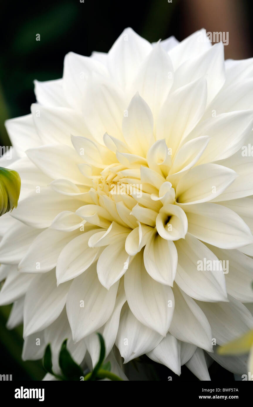 White colored flowers gallery fresh lotus flowers white color flowers pictures image collections fresh lotus flowers mightylinksfo