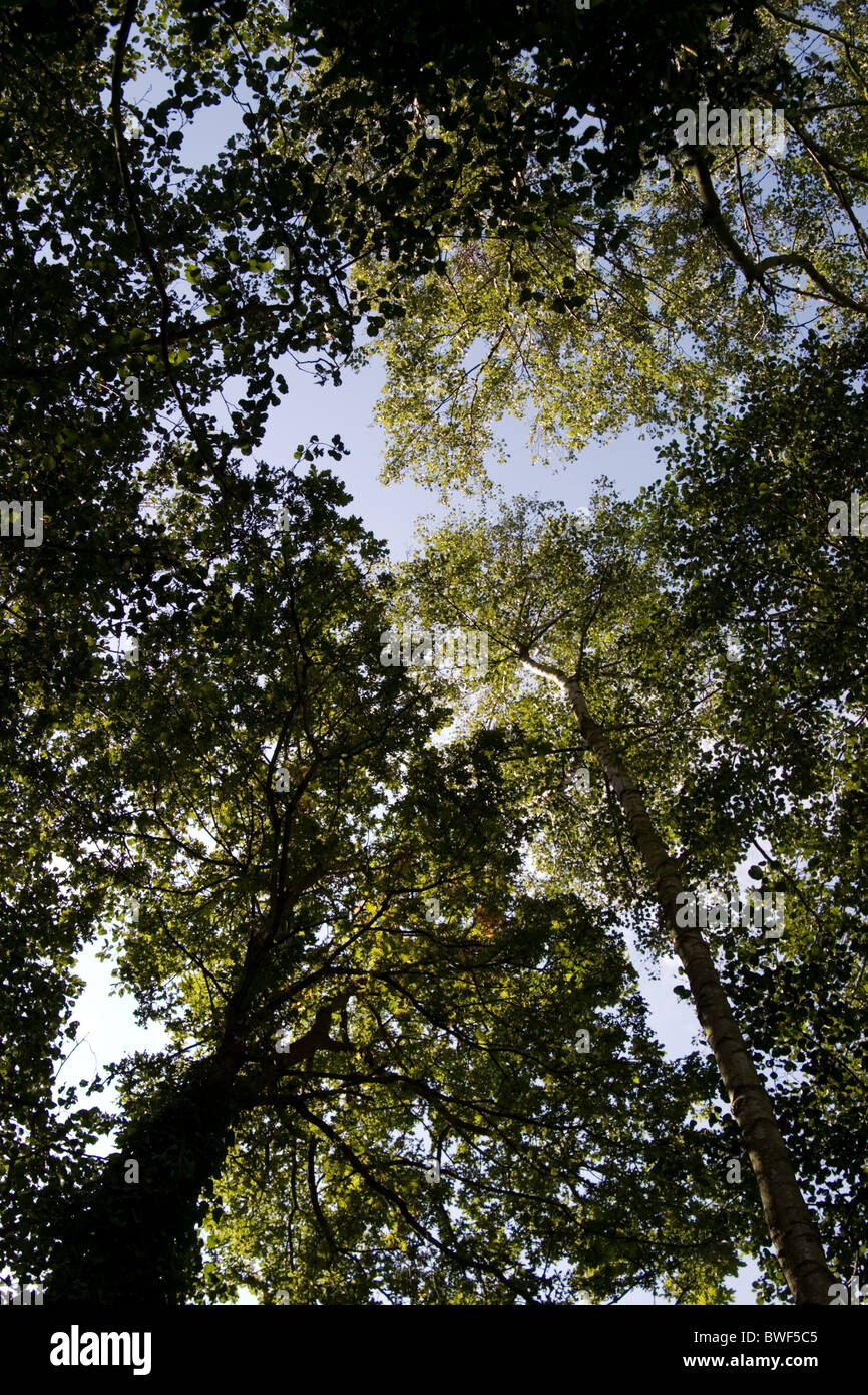 A group of tall trees viewed from below - Stock Image