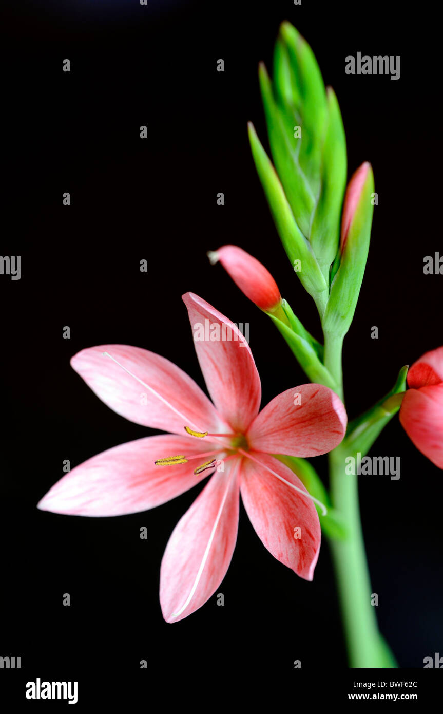 schizostylis coccinea salmon charm pink kaffir lily lilies flower flowers bloom blossom garden plant bulbous perennial Stock Photo