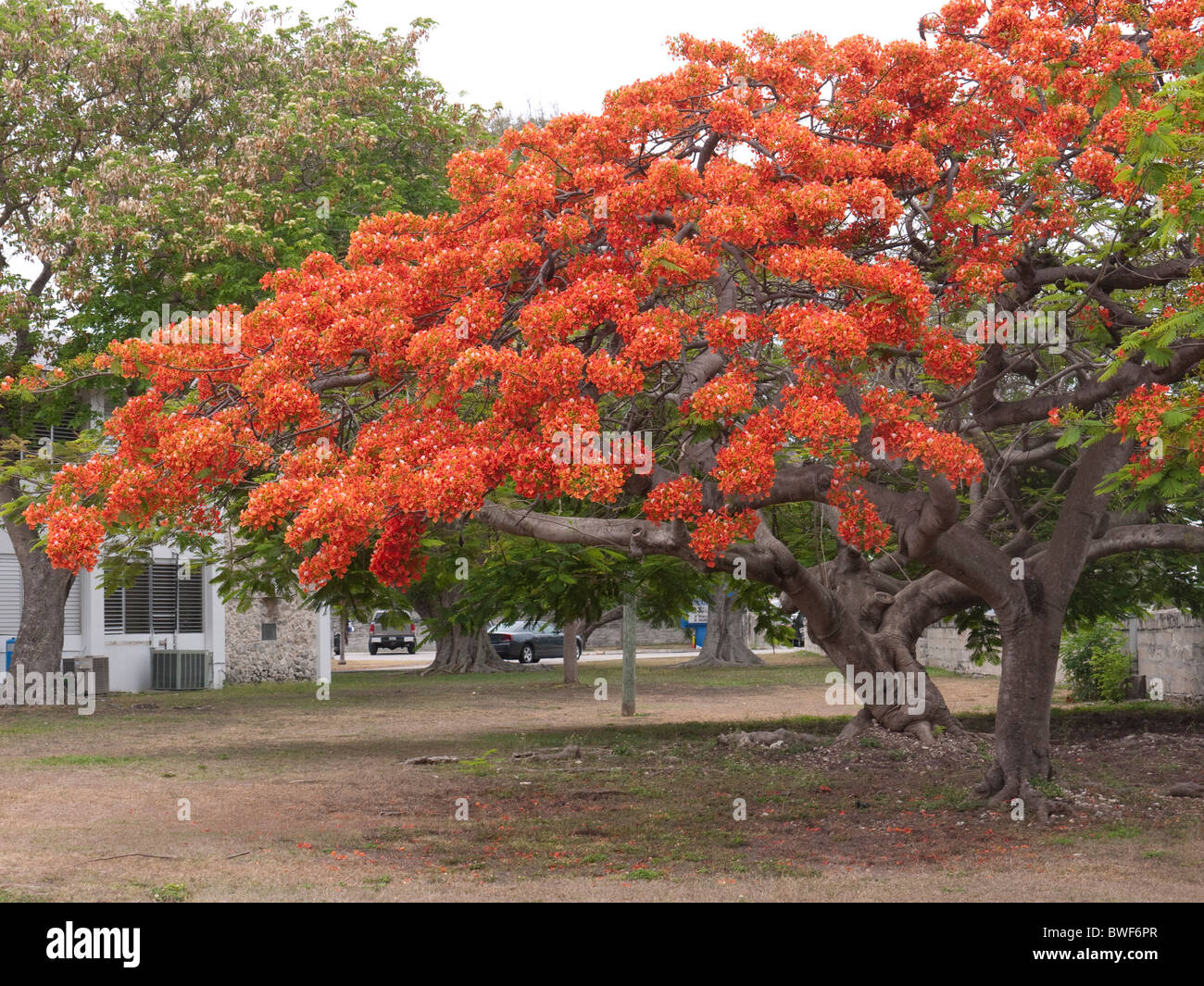 Fantastic blossom on the Royal Poinciana Tree in Key West in the Florida Keys in the State of Florida USA - Stock Image