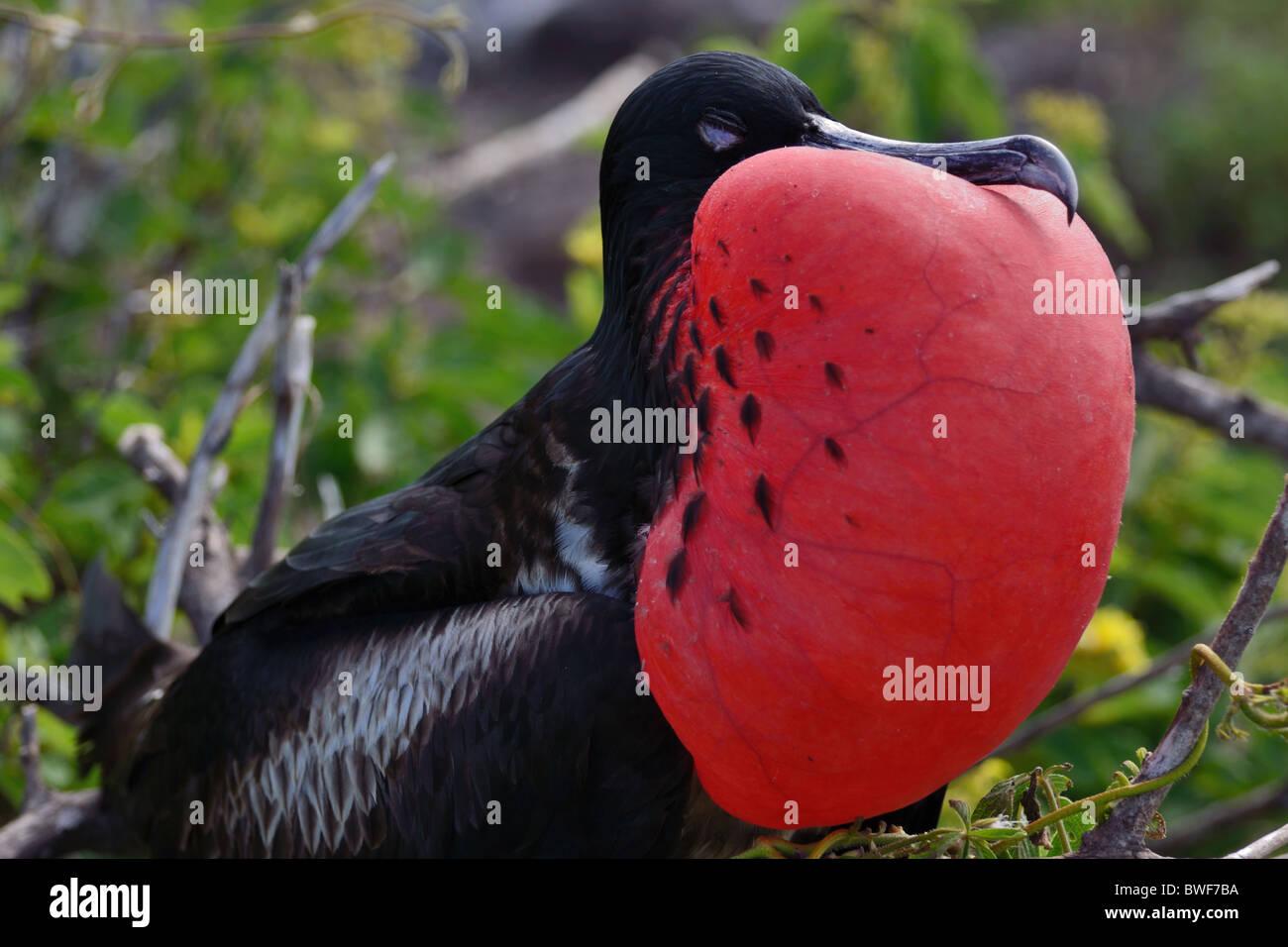 Great Frigatebird displaying its red gular sac - Stock Image