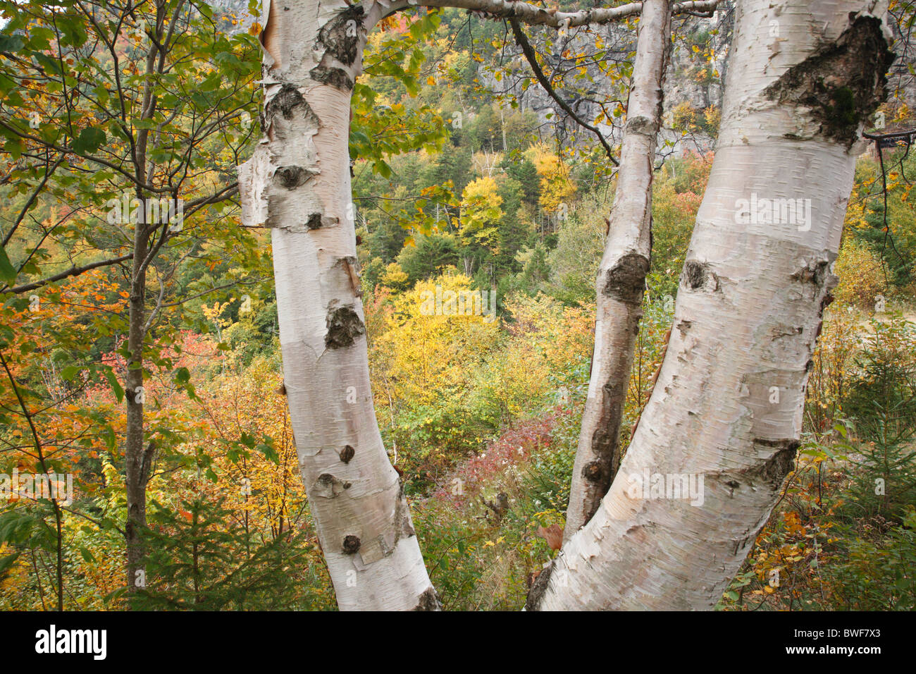 Crawford Notch State Park - Birch tree during the autumn months in the White Mountains, New Hampshire USA. Stock Photo
