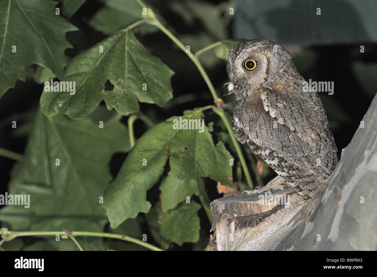 Scops owl - Eurasian scops owl - European scops owl (Otus scops) bringing prey to feed its chicks waiting in a nesting - Stock Image