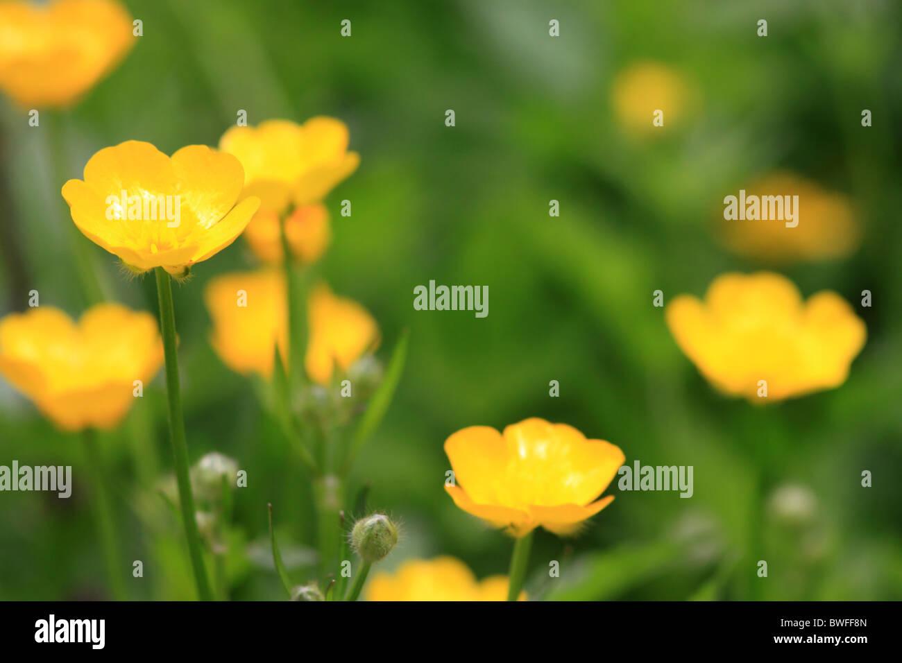 Buttercups in meadow - Stock Image