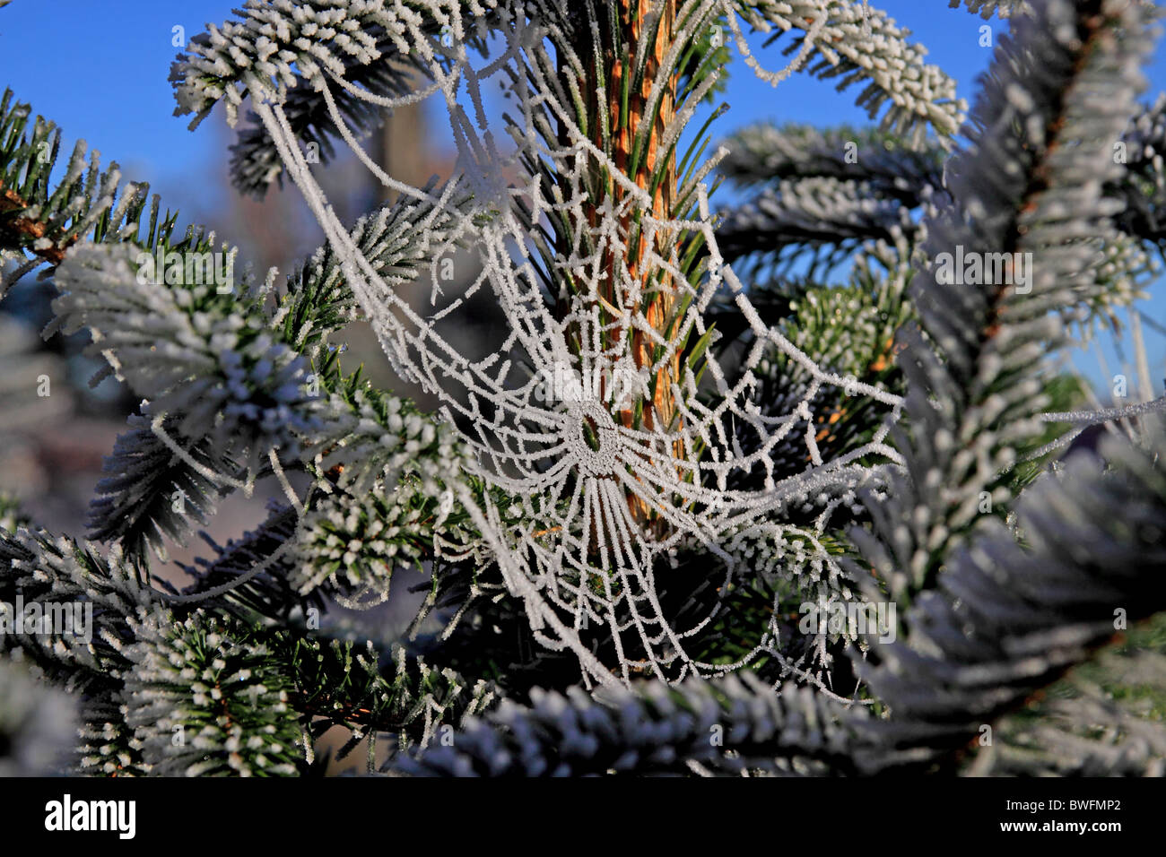 Frosted Spiders Web on Fir Tree - Stock Image