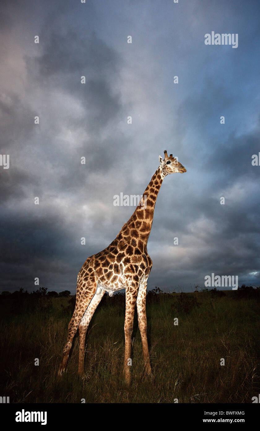 Giraffe (Giraffa camelopardalis) in dramatic light, Kruger National Park, Mpumalanga Province, South Africa - Stock Image